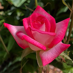 Miniature Rose - Red Flower