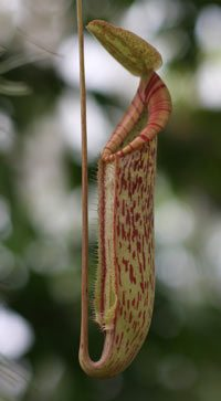Nepenthe - Pitcher plant