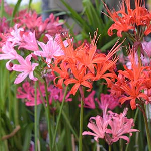 Nerines - A variety of colors
