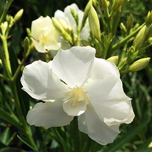 Nerium oleander Madonna Grandiflora