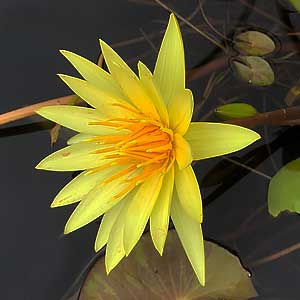 Nymphaea St Louis Gold