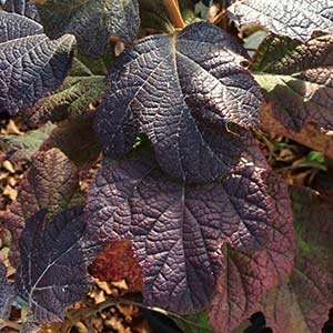 Oakleaf Hydrangea Autumn Foliage