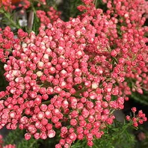 Ozothamnus 'Just Blush'