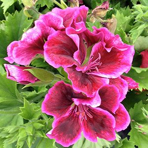 Pink flowering Pelargoniums