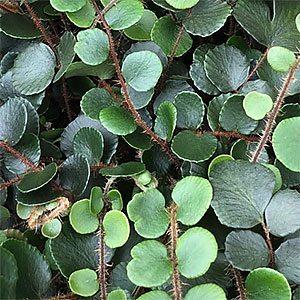 Pellaea rotundifolia - The New Zealand Button Fern