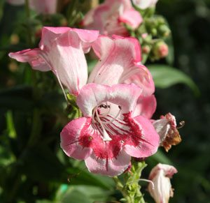 Penstemon Red Belle