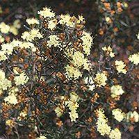 Phebaliu  m stenophyllum