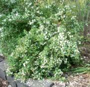 philadelphus-sybille
