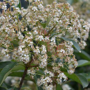 Photinia robusta Flower