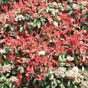 Photinia robusta - Hedge
