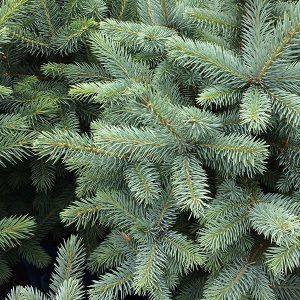Australian Christmas Tree Pine.Christmas Trees Nurseries Online