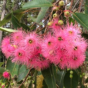 Pink Flowering Gum Tree