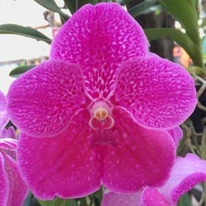 Pink Flowering Vanda Orchid