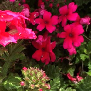 Pink Flowering Verbena