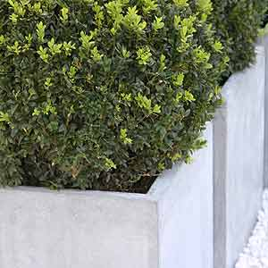 planter-box-with-buxus