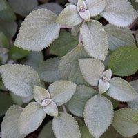 Plectranthus argentatus - silver plectranthus