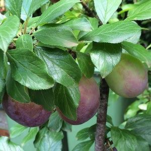 Plum Tree - President Variety