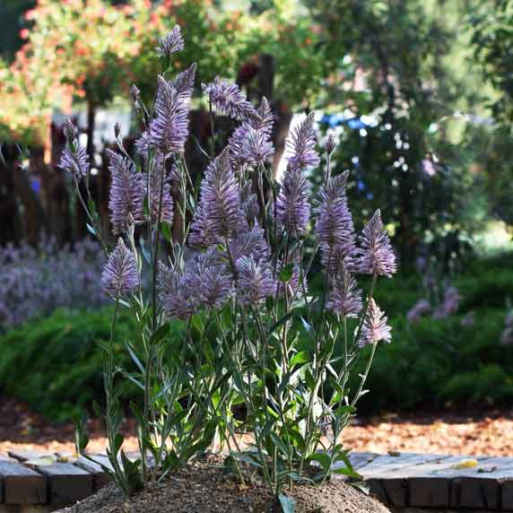 Garden Water Features >> Ptilotus species | Nurseries Online
