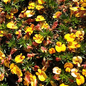 Pultenaea pedunculata with orange flowers