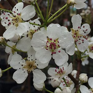 Pyrus calleryana - Flowers