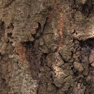 Quercus suber - The Cork Oak