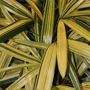 Variegated Rhapis Palm