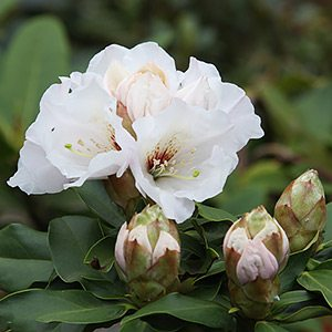 Rhododendron Mount Everest