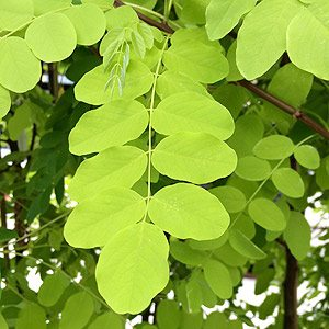The Golden Robinia