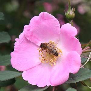 Rosa sweginowii
