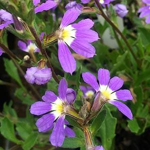 scaevola-aemula-Fairy-Fan-Flower