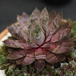 Sempervivum cv. Purple Haze