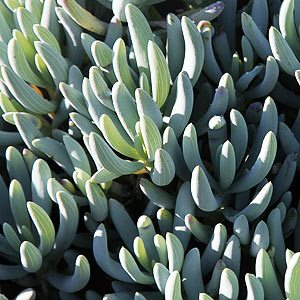 Senecio serpens or 'Blue Chalk Sticks'