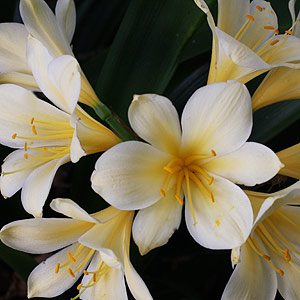 Shade flowering Clivia