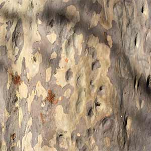Spotted Gum Trunk - Corymbia maculata