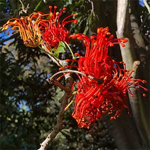 Stenocarpus sinuatus or 'Firewheel tree'