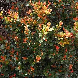 Syzygium Orange Twist
