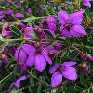 Tetratheca thymifolia - Fairy Bells