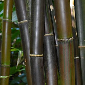 Timor Giant Black Bamboo