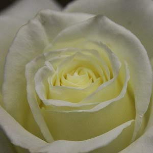 Tineke - White Rose