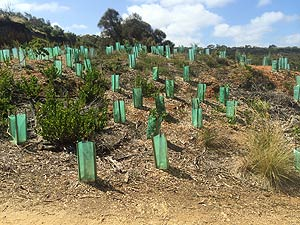 Tree Guards in coastal revegetation project