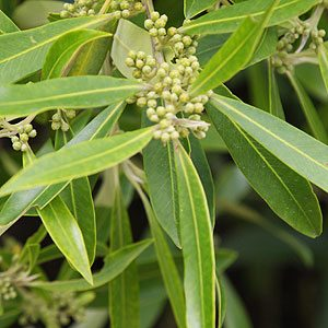 Tristaniopsis laurina - Water Gum or Kanooka Gum