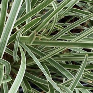Tulbaghia violacea Variegated form (foliage)