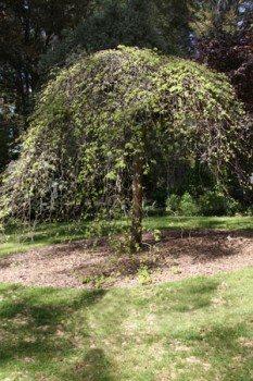 Ulmus glabra pendula 'camperdowni' Weeping elm