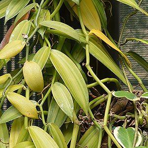 Vanilla Orchid Plant