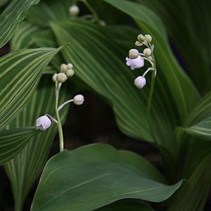 variegated-lily-of--the-valley
