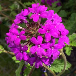Verbena Plants Wholesale