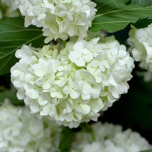 Viburnum opulus roseum - The Snowball tree