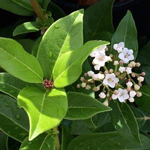 Viburnum tinus Foliage