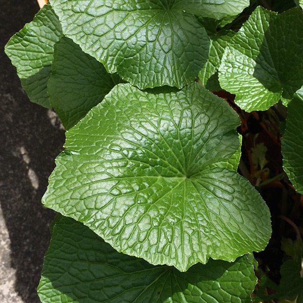 Wasabi Plants Nurseries Online Australia
