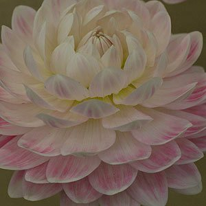 Waterlily Dahlia Variety